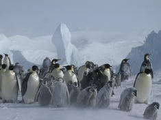 Emperor Penguins and chicks