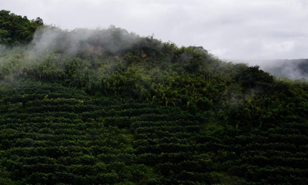 tea farm in China