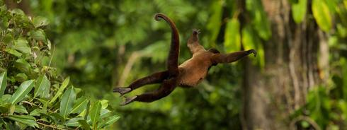 Silvery woolly monkey jumping