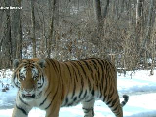 camera-trap-copyright-by-Ussuriisky-Nature-Reserve