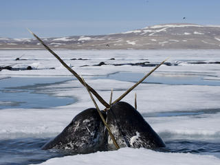 narwhal pair