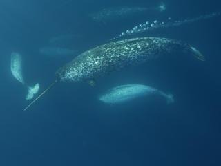 narwhals underwater