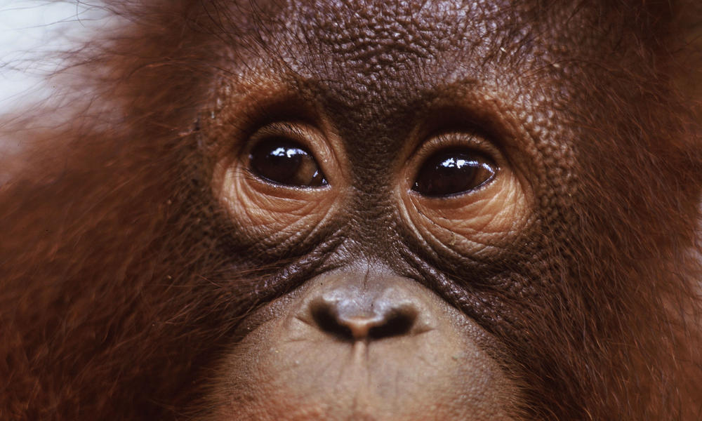 Borneo and Sumatra - Orangutan