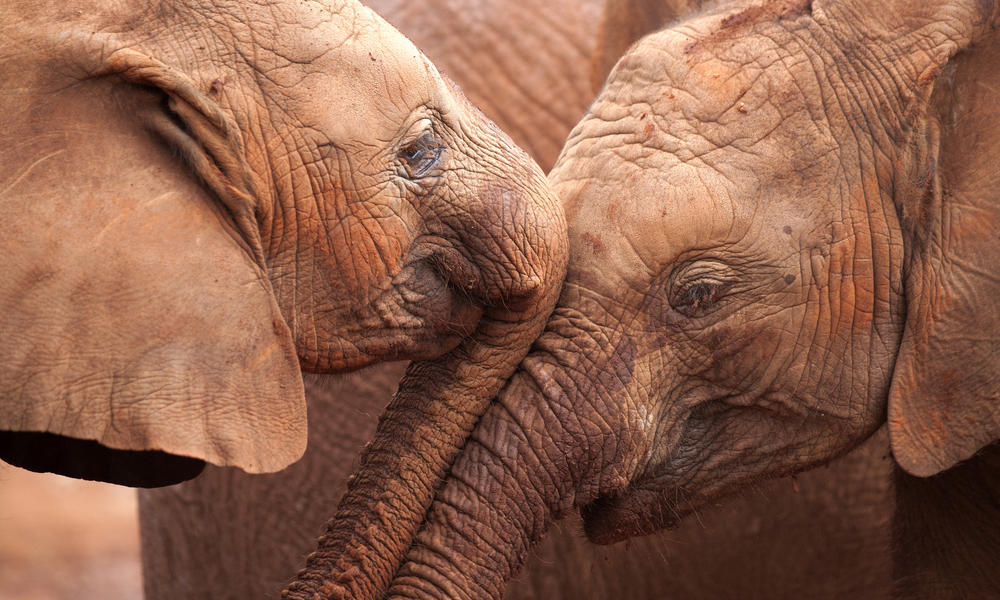 elephants touching trunks