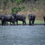 African elephant, Loxodonta africana, herd by water