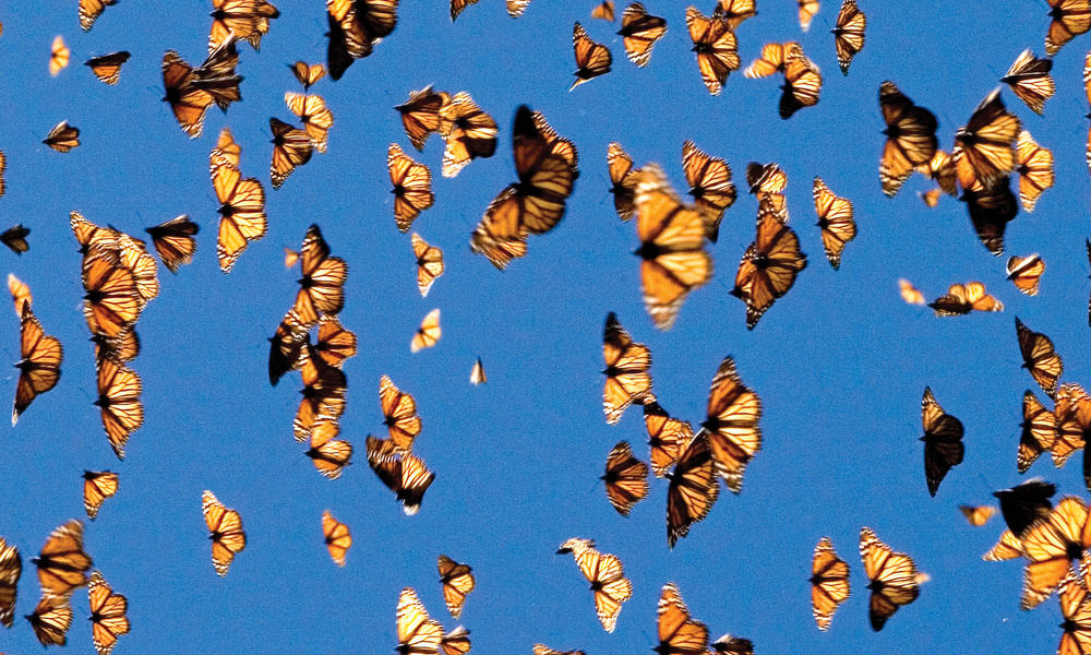 monarchs in flight