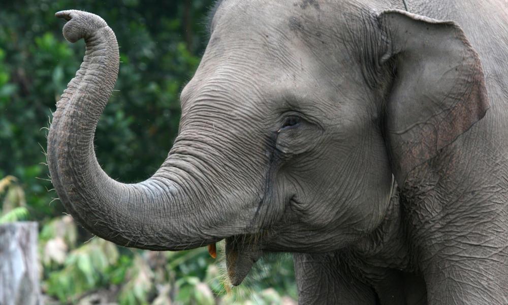 Sumatran elephant heromid 247511
