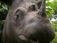 Sumatran rhino circlexl 279135