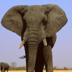 Help African Elephants by supporting WWF