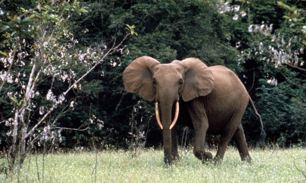 African forest elephant, Gabon