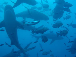 bull sharks swimming