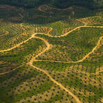 Palm Oil Plantation, Borneo