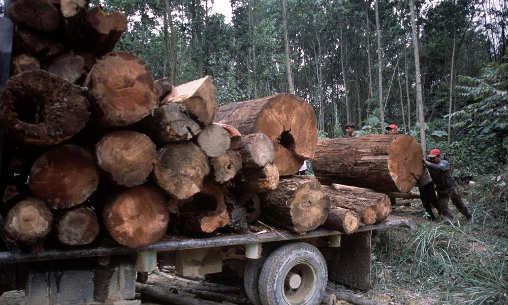 Illegal logging  Riau, Sumatra