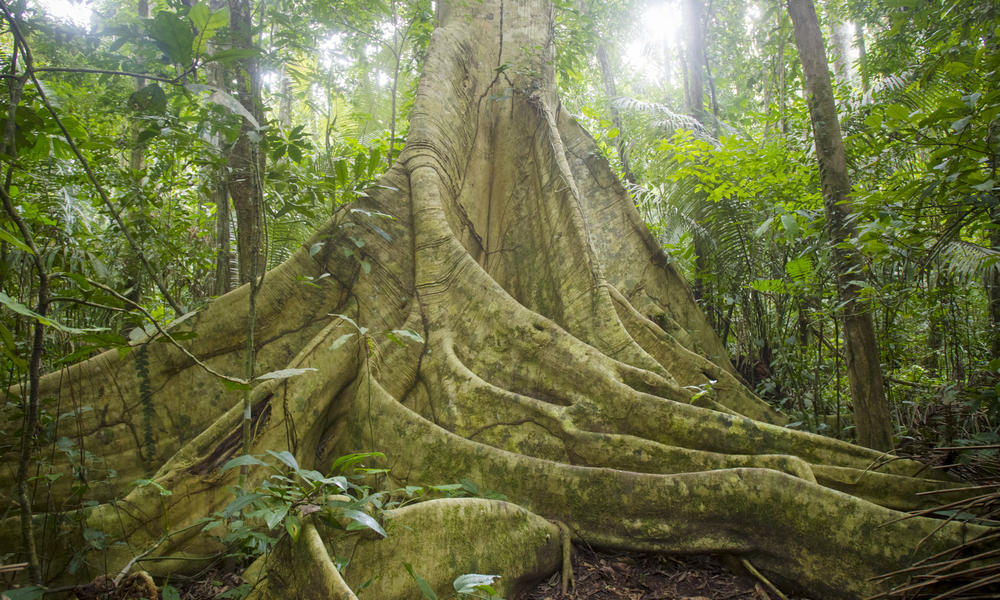 Ficus Trigona in Manu, Peru
