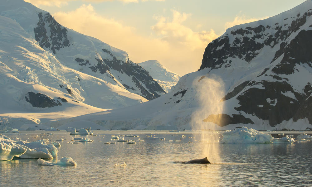 Whale in Antarctica