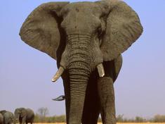 Savanna elephant circlehi 48477