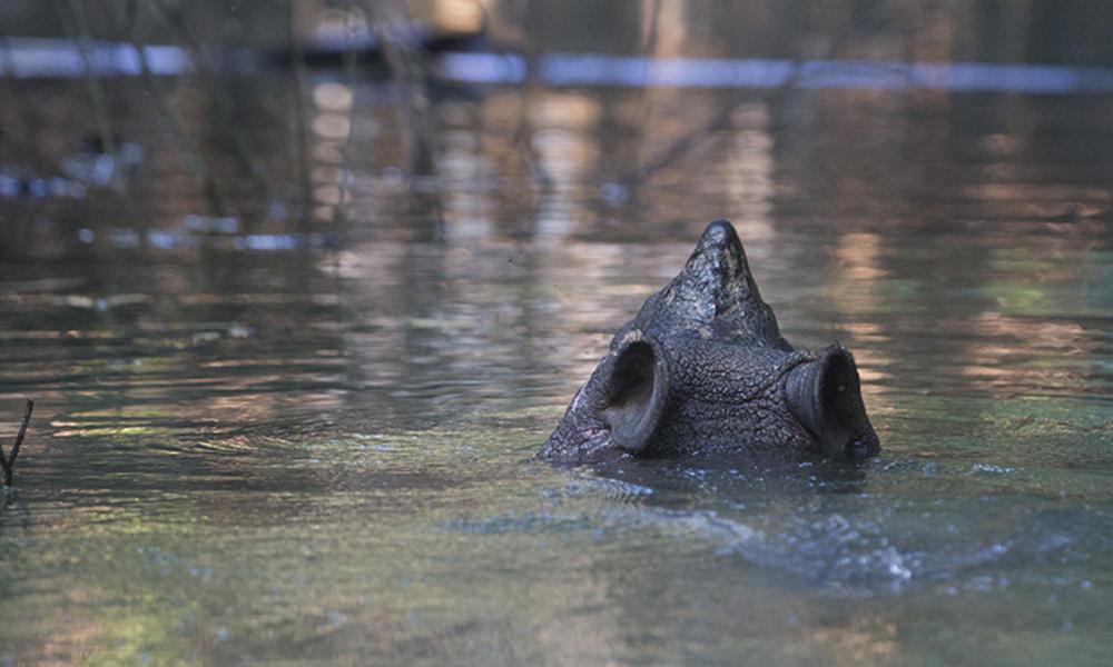 javan rhino nose