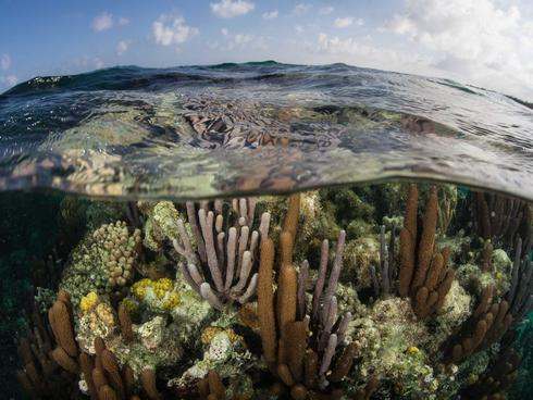 Shallow corals at Turneffe Atoll off the coast of Belize