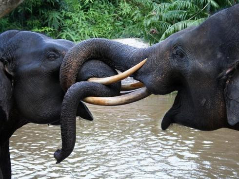 Two Sumatran elephant in Tesso Nilo National Park, Riau, Indonesia