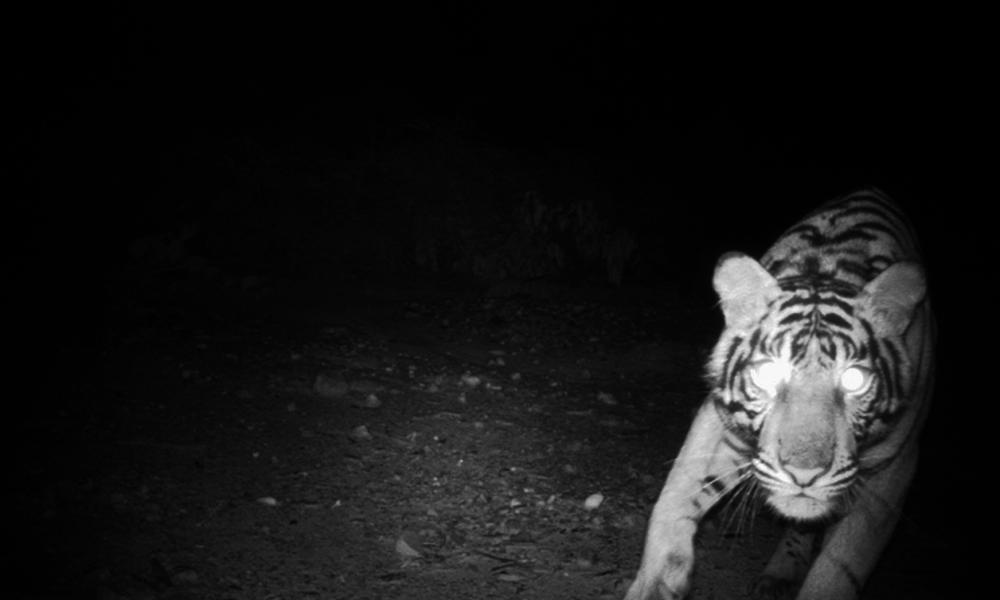 Female Sumatran tiger captured by camera trap