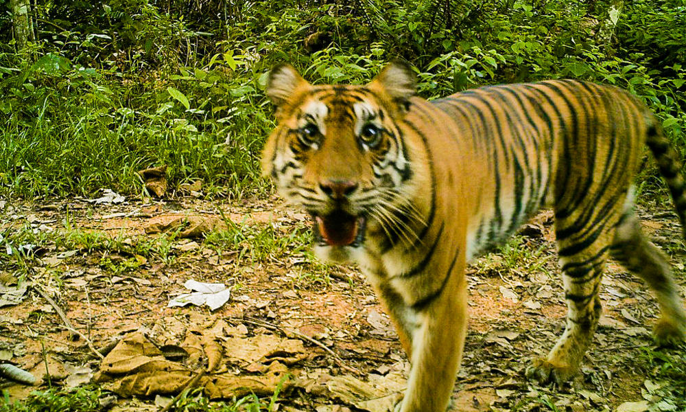 Sumatran tiger   camera trap