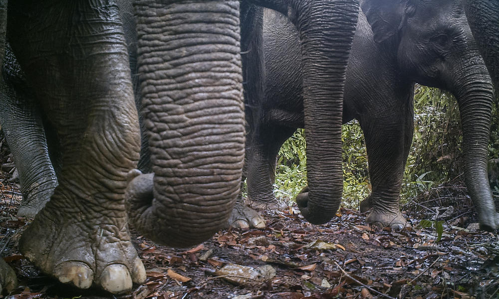 elephants in Thirty Hills, Sumatra