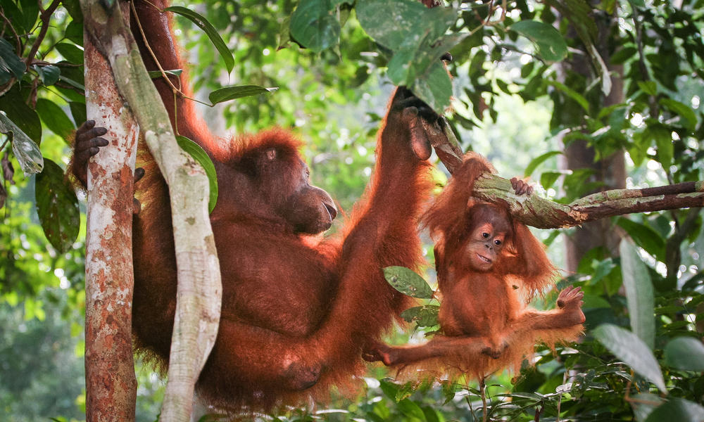 Orangutans in Thirty Hills, Sumatra