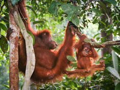 Orangutan mother climb with youngster