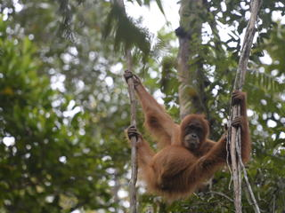 orangutan in Thirty Hills, Sumatra