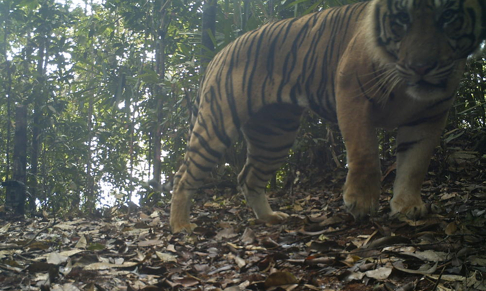 Sumatran tiger in Thirty Hills