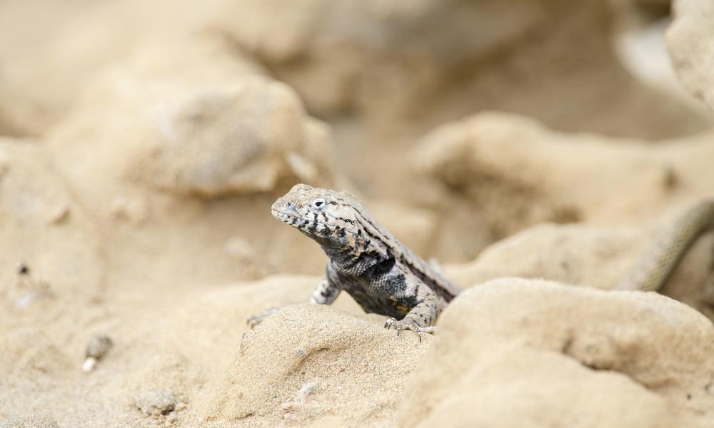 Lizard Peru Desert