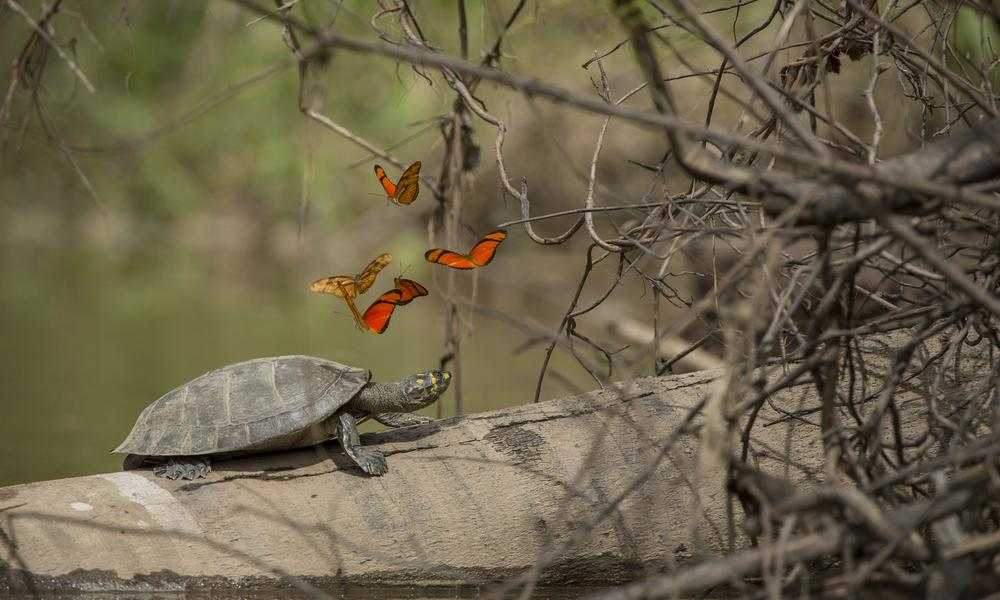 Turtle with butterflies, Tambopata River, Peru