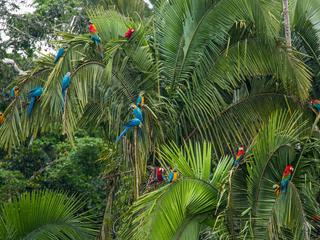 Macaws in Amazon