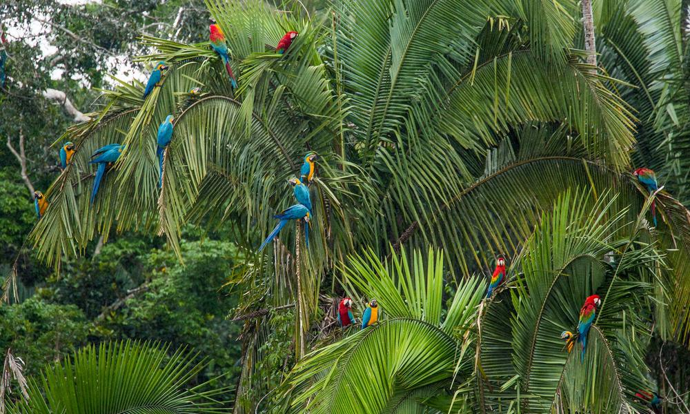 Macaws Amazon, Peru - Rainforest