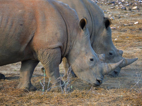 White rhinos at the GocheGanas Nature Reserve near Windhoek, Namibia.