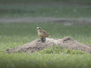 prairie dog pops up