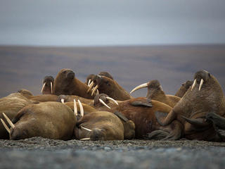 group of walruses