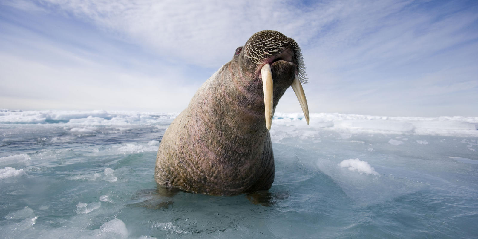 walrus habitat on the edge magazine articles wwf