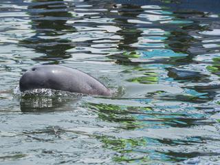 finless porpoise swimming