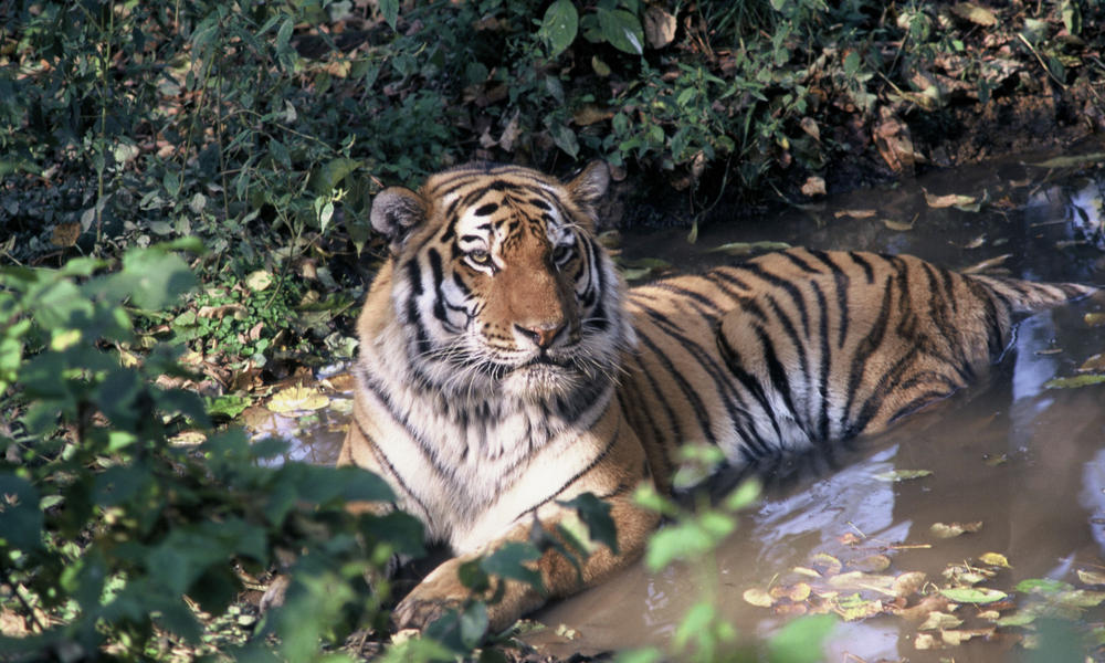 Amur tiger sitting in water