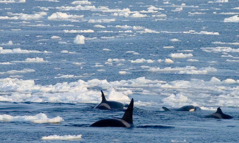 Killer whale ice
