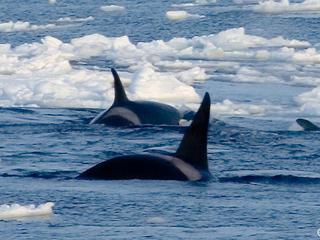 orcas in Arctic