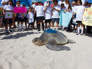 A Kemp's ridley sea turtle released to sea