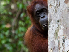 Borneo voyage orangutan travel