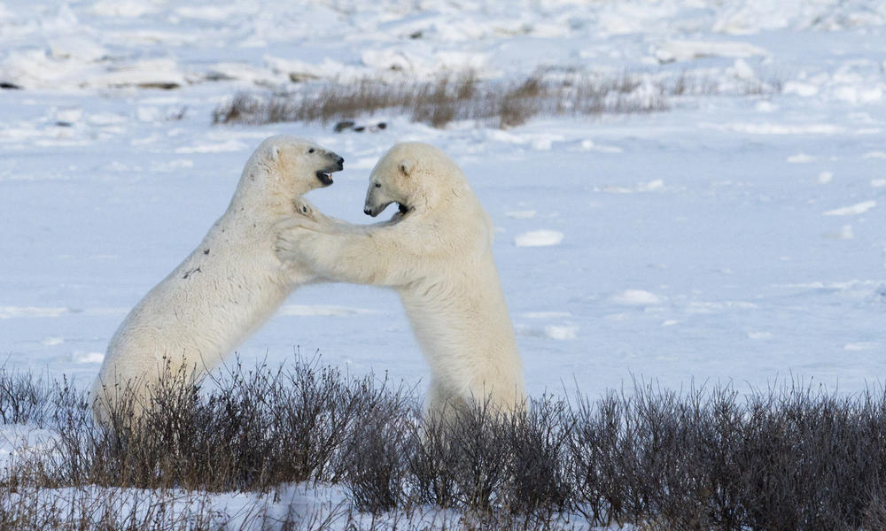 Two male polar bears sparring, Churchill, Canada