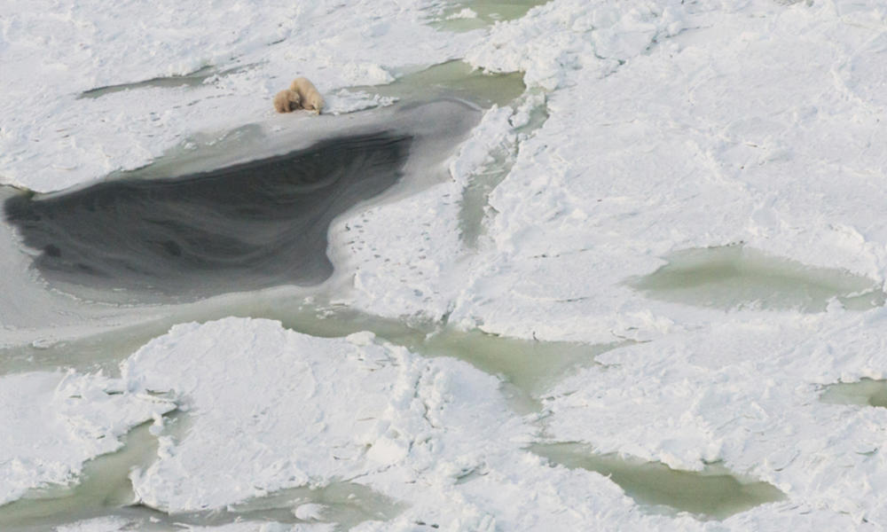 Aerial view of sparring polar bears