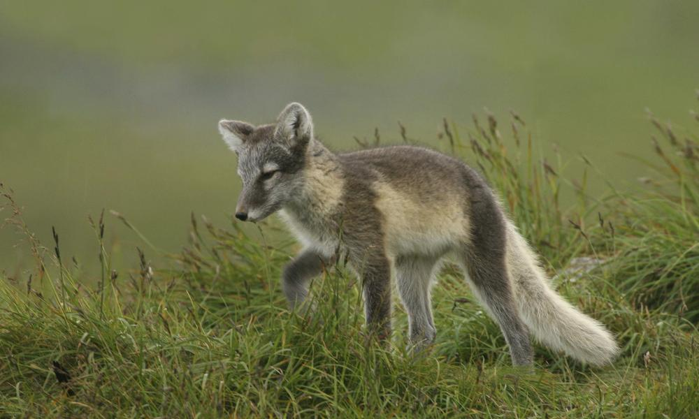 an arctic fox in the summer