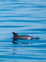 Vanishing Vaquita:  Saving the World's Most Endangered Marine Mammal Brochure