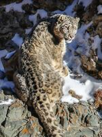 Nationwide Snow Leopard Population Assessment of Mongolia Brochure