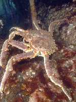 Illegal Russian Crab: An Investigation of Trade Flow Brochure